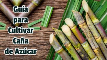 Guía para Cultivar Caña de Azúcar - Guias PDF