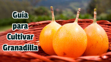 Guía para Cultivar Granadilla - Guias PDF