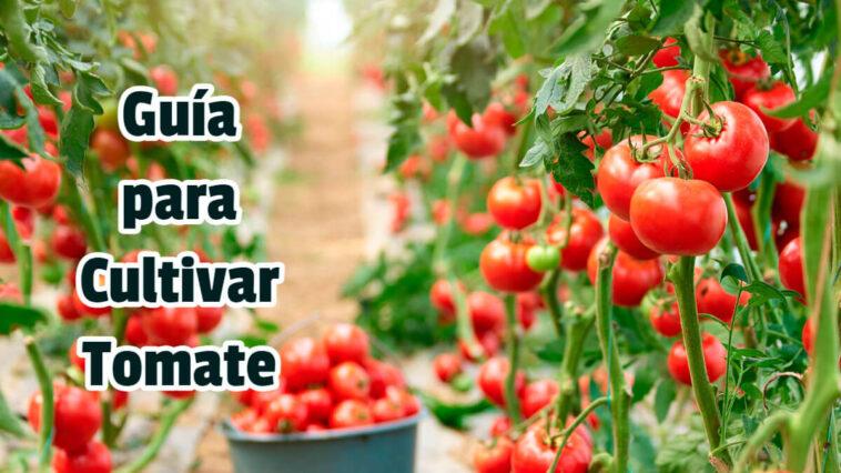 Guía para Cultivar Tomate - Guias PDF