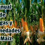 Manual de Plagas y Enfermedades en Maíz - Guias PDF
