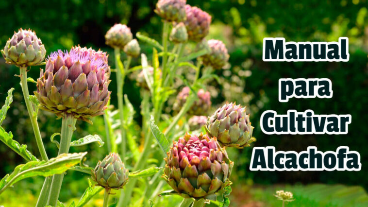 Manual para Cultivar Alcachofa - Guias PDF