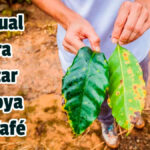 Manual para Tratar la Roya del Café - Guias PDF